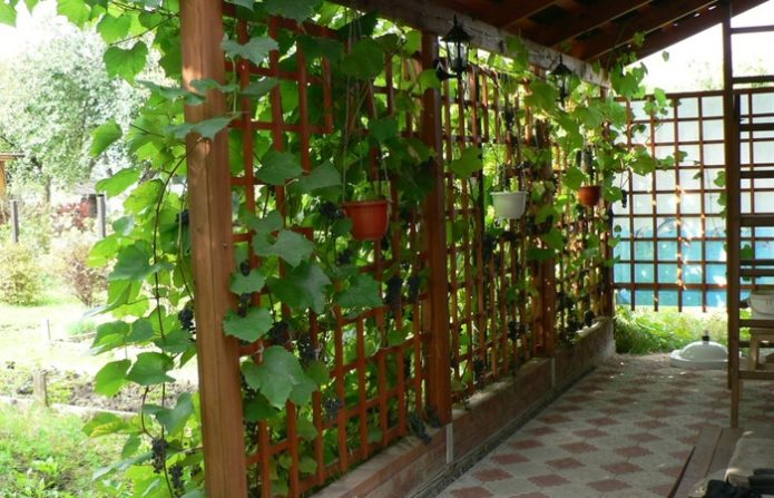 Виноград у дома