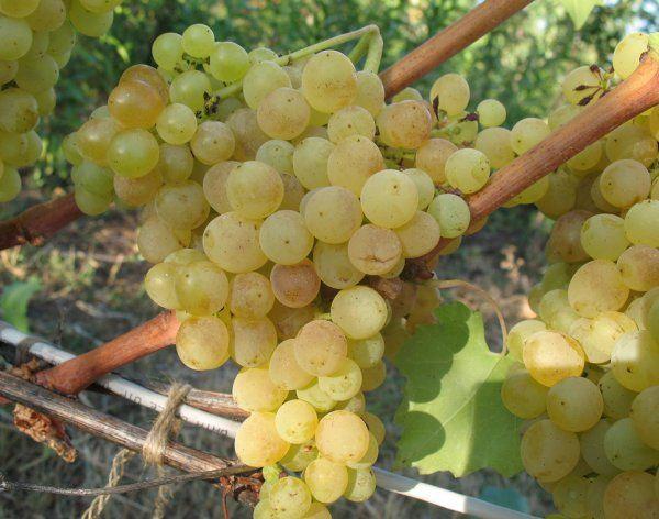 Гроздь винограда сорта Кишмиш 342