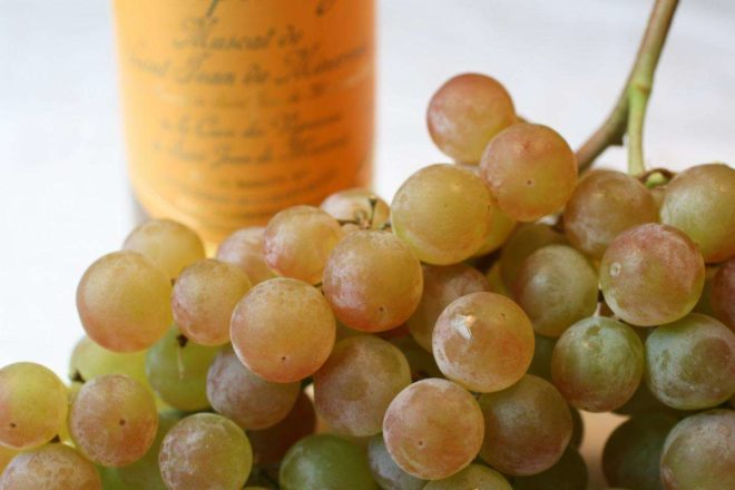 Ягоды винограда сорта Кишмиш 342