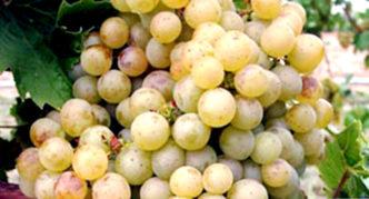 Сорт винограда Зала дендь