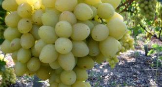 Сотр винограда Восторг идеальный