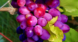 Сорт винограда Кубатик