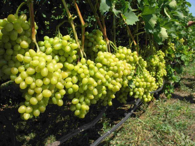 Подвязка винограда сорта Кишмиш 342