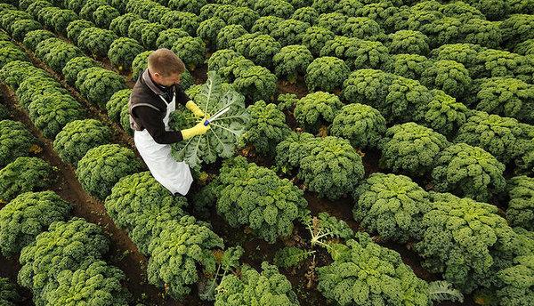 Плантация листовой капусты