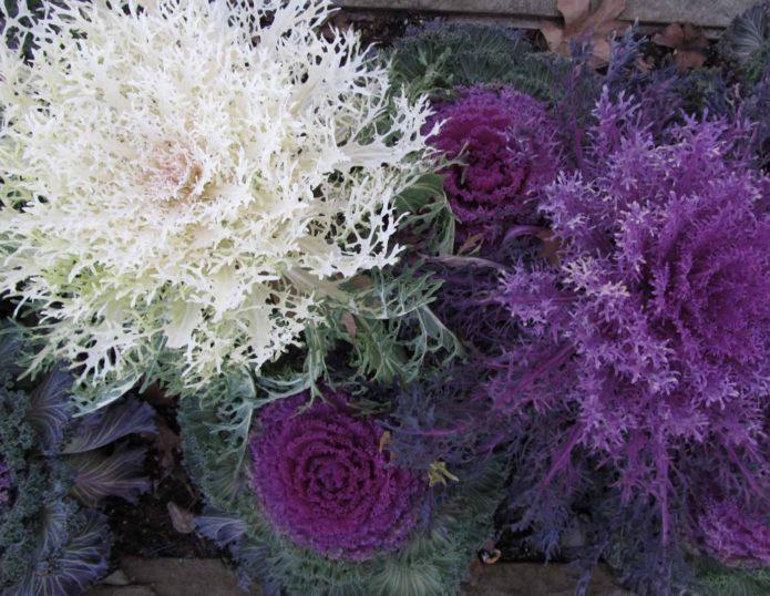 Махровые сорта декоративной капусты