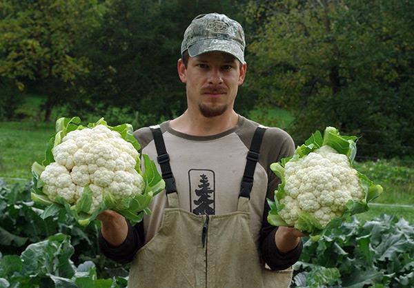 Урожай цветной капусты