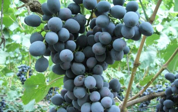 Гроздь винограда Сфинкс