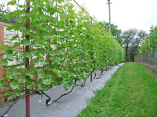Виноград на шпалере