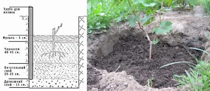 Схема посадки винограда Кишмиш 342 и посаженная молодая лоза