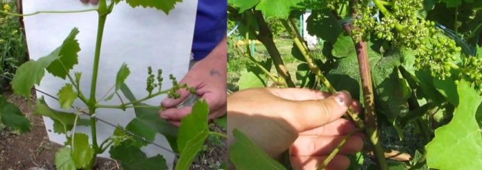 Прищипывание и пасынкование винограда Кишмиш 342
