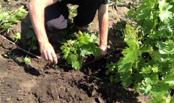 Способ размножения винограда укоренением побегов