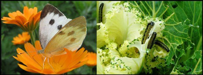 Бабочка-белянка, или капустница