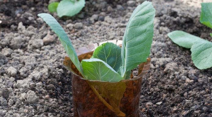 Защита капусты от слизней