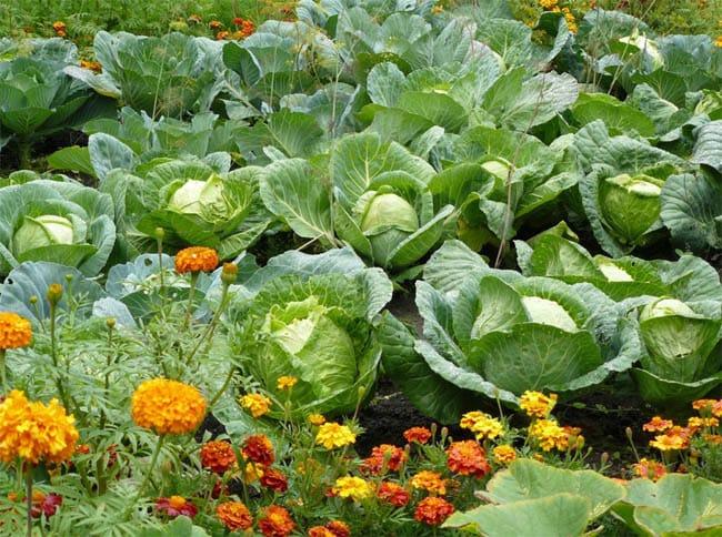Фитозащита капусты