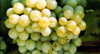 Сорт винограда Карамол