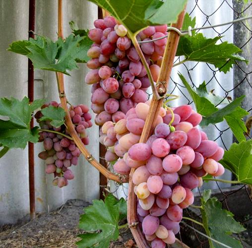Виноград сорта Восторг красный