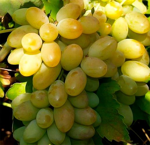 Виноград сорта Фрумоаса албэ