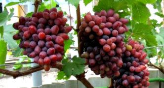 Виноград сорта Новочеркасский розовый