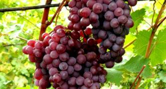 Виноград сорта Русский ранний