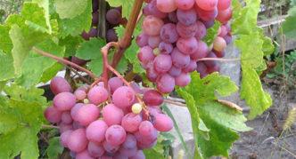 Виноград сорта Алый-2