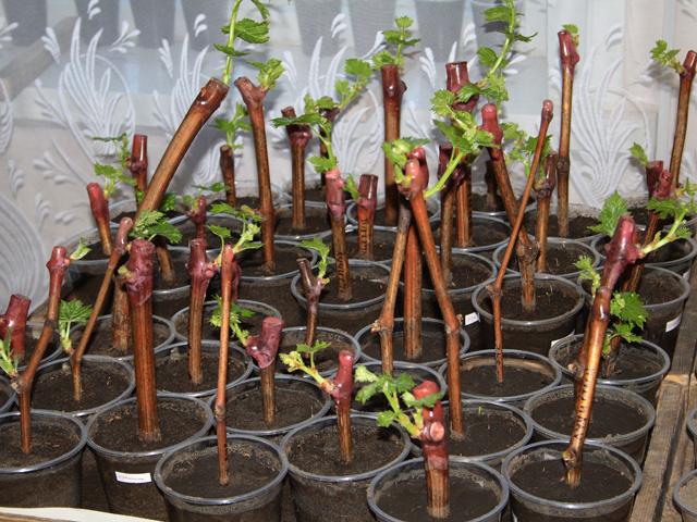 Черенки винограда в почве