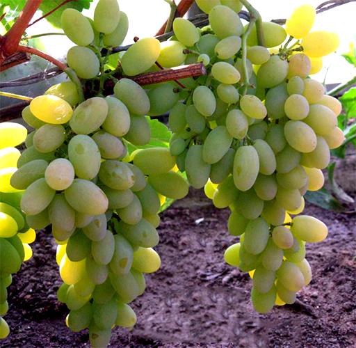 Виноград сорта Тимур