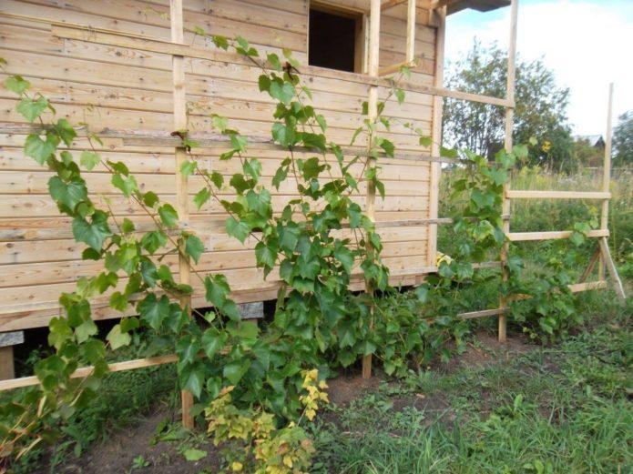 Посадка винограда вдоль стены