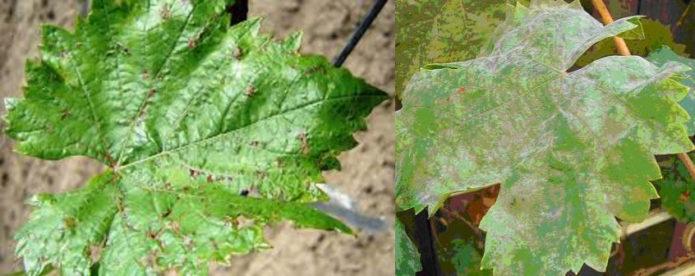 Заболевания винограда