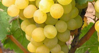 Сорт винограда Талисман