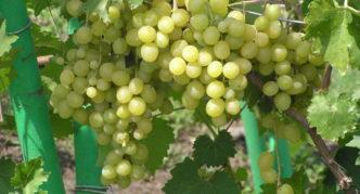 Сорт винограда Восторг мускатный