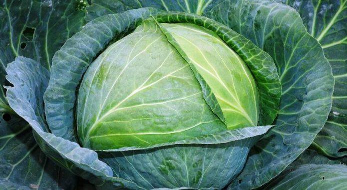 Сочные листья капусты Слава