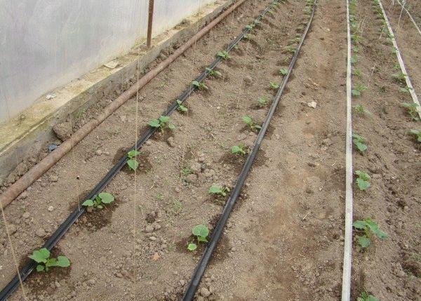 Капельная система орошения капусты