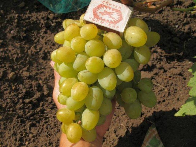 Сорт винограда Галахада