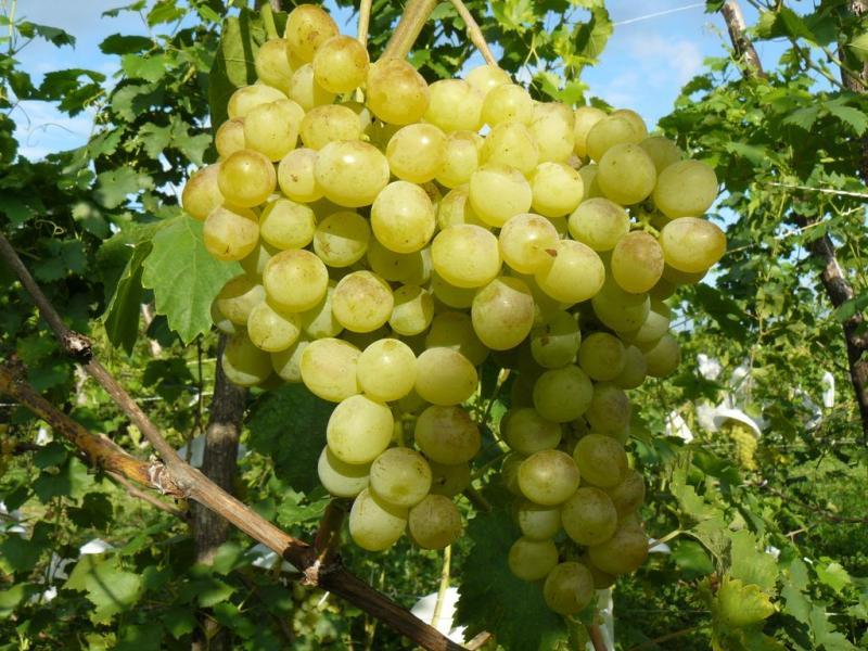 Описание винограда сорта кристалл
