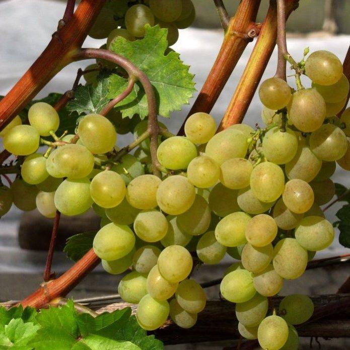 Спелые грозди винограда сорта Кристалл