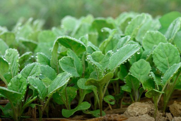 Как сажать цветную капусту сроки и схема посадки в открытый грунт и на рассаду