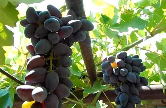 Фрагмент беседки с виноградом Викинг