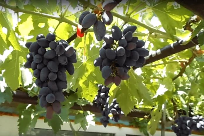 Арочная форма винограда