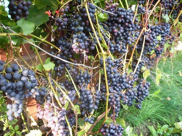 Куст винограда Загадка Шарова