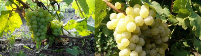 Два родительских сорта винограда Тукай