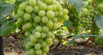 Сорт Королева виноградников