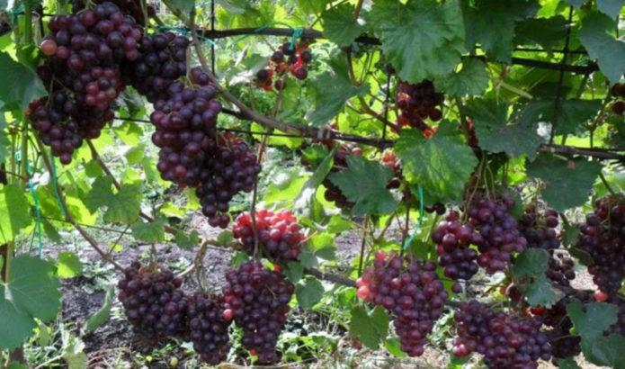 Лозы винограда Кардинал