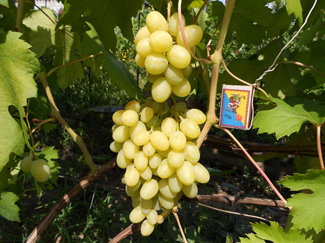 Виноград сорта Ландыш