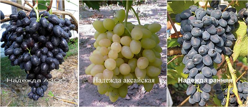 Надежда Азос описание сорта винограда характеристики