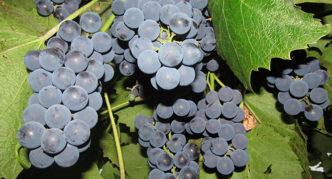 Виноград Молдлва