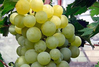 Виноградная гроздь Тукай