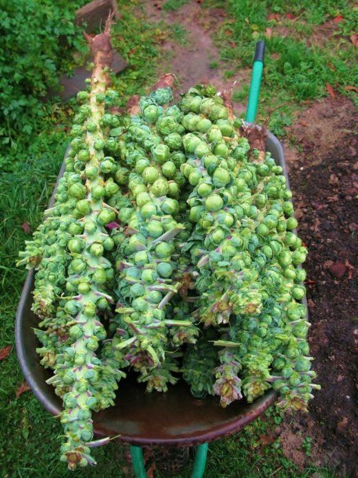 Сбор урожая брюссельской капусты