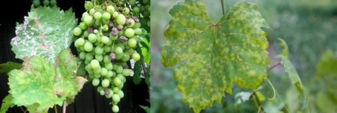 Заболевания виноградной лозы