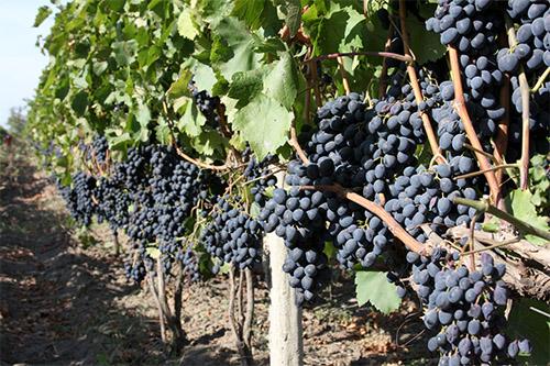 Обильное плодоношение винограда Молдова