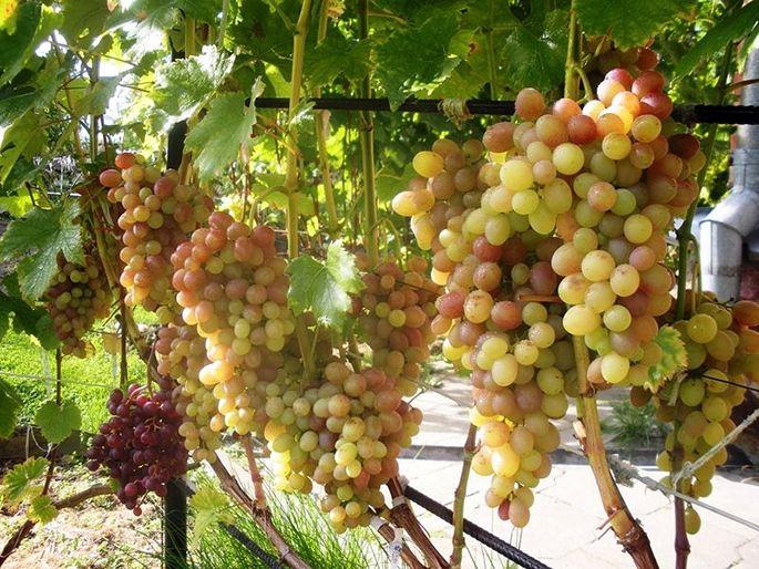 Куст винограда Тасон